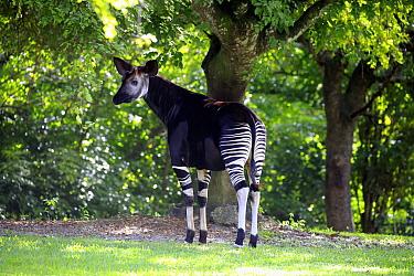 Okapi (Okapia johnstoni), Miami, Florida