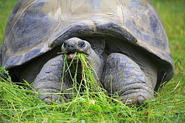 Aldabra Giant Tortoise (Aldabrachelys gigantea) grazing, Heidelberg, Germany