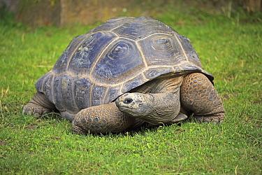 Aldabra Giant Tortoise (Aldabrachelys gigantea), Heidelberg, Germany