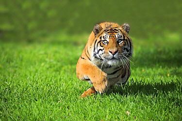 Sumatran Tiger (Panthera tigris sumatrae) male chasing lure, Miami, Florida