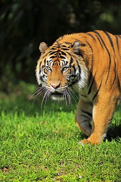 Sumatran Tiger (Panthera tigris sumatrae) male, Miami, Florida