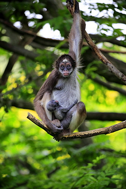 White-bellied Spider Monkey (Ateles belzebuth) mother with young, Frankfurt, Germany