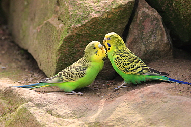 Budgerigar (Melopsittacus undulatus) pair greeting, Germany