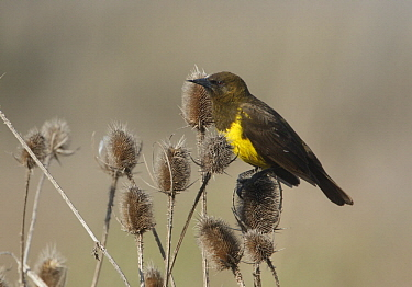 Brown-and-yellow Marshbird (Pseudoleistes virescens) on thistles, Argentina
