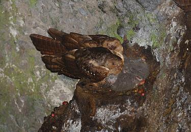 Oilbird (Steatornis caripensis) pair in cave, Pichincha, Ecuador