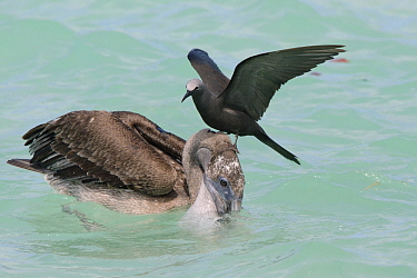 Brown Noddy (Anous stolidus) on Brown Pelican (Pelecanus occidentalis) juvenile to try and steal fish, Galapagos Islands, Ecuador