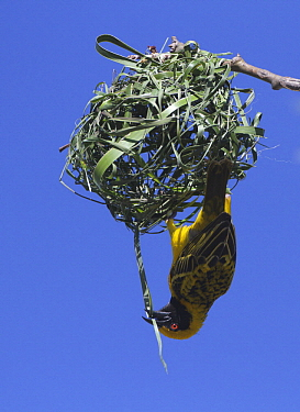 Village Weaver (Ploceus cucullatus) male building nest, Gauteng, South Africa