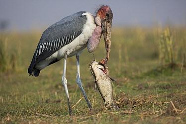 Marabou Stork (Leptoptilos crumeniferus) feeding on large catfish, Botswana