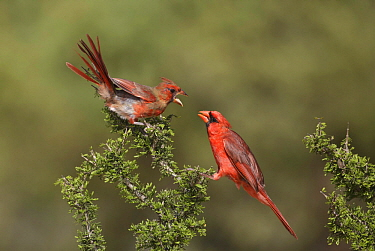 Northern Cardinal (Cardinalis cardinalis) fledgling begging for food from male, Texas