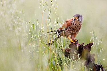 Eurasian Kestrel (Falco tinnunculus), Spain
