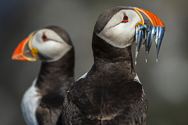 Atlantic Puffin (Fratercula arctica) with sandeel prey, Farne Islands, United Kingdom