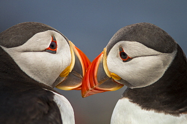 Atlantic Puffin (Fratercula arctica) pair preening, Farne Islands, United Kingdom