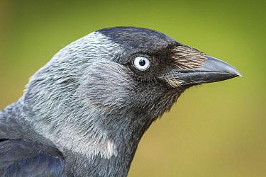 Eurasian Jackdaw (Corvus monedula), United Kingdom
