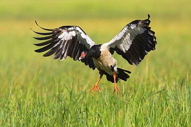 Magpie Goose (Anseranas semipalmata) landing, Queensland, Australia