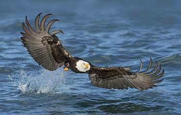 Bald Eagle (Haliaeetus leucocephalus) striking at fish, Alaska