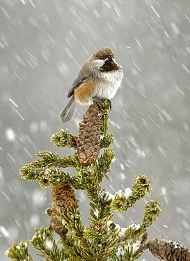 Boreal Chickadee (Poecile hudsonicus) during snowfall, Alaska