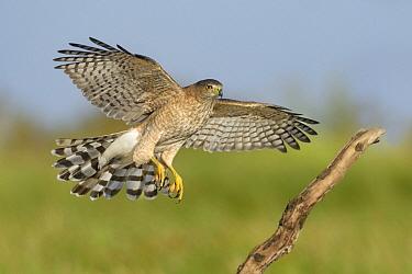 Cooper's Hawk (Accipiter cooperii) female landing, Texas