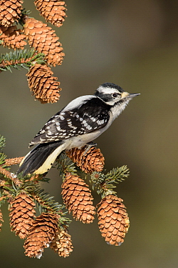 Downy Woodpecker (Picoides pubescens) female, Alaska