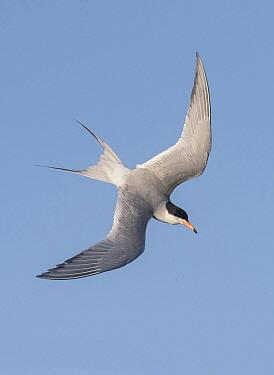 Forster's Tern (Sterna forsteri) flying, Texas