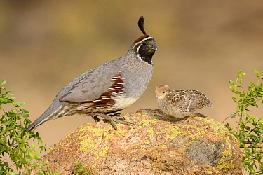 Gambel's Quail (Callipepla gambelii) male with chick, Arizona