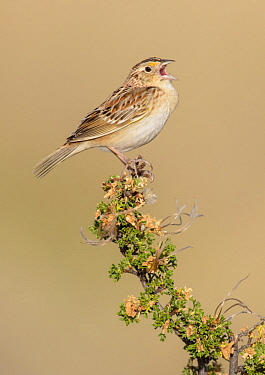 Grasshopper Sparrow (Ammodramus savannarum) male calling, Arizona