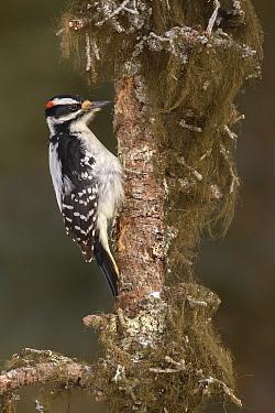 Hairy Woodpecker (Picoides villosus) male, Alaska