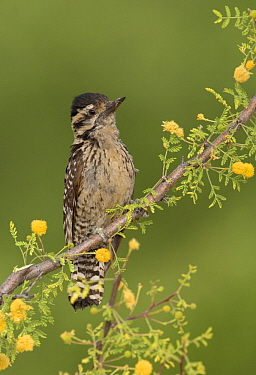 Ladder-backed Woodpecker (Picoides scalaris) female, Arizona