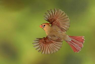 Northern Cardinal (Cardinalis cardinalis) female flying, Texas