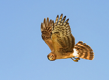 Northern Harrier (Circus cyaneus) flying, Texas