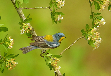 Northern Parula (Setophaga americana), Texas