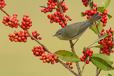 Orange-crowned Warbler (Oreothlypis celata) among red berries, Texas