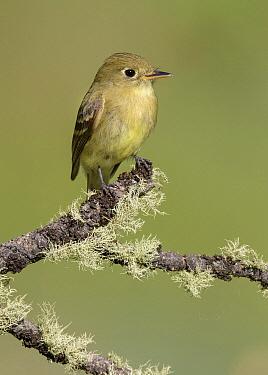 Pacific-slope Flycatcher (Empidonax difficilis), New Mexico