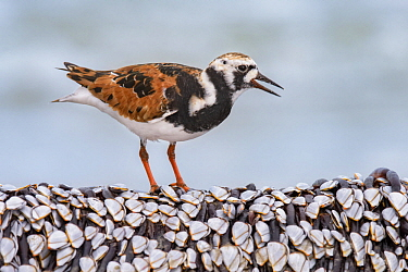 Ruddy Turnstone (Arenaria interpres) feeding on clams, Texas