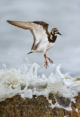 Ruddy Turnstone (Arenaria interpres) hopping, Texas