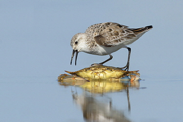 Sanderling (Calidris alba) feeding on crab carcass, Texas