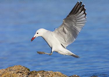 Audouin's Gull (Ichthyaetus audouinii) landing, Mallorca, Spain