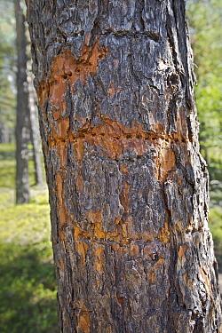 Three-toed Woodpecker (Picoides tridactylus) holes in tree, Jotunheimen, Norway