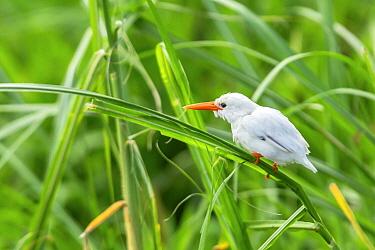 Malachite Kingfisher (Alcedo cristata), leucistic individual, Lake Mburo National Park, Uganda