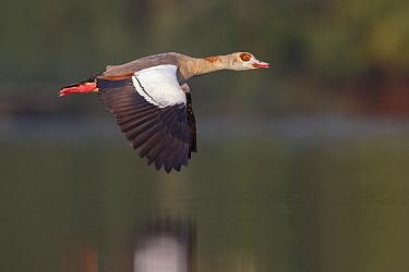 Egyptian Goose (Alopochen aegyptiacus) flying, North Rhine-Westphalia, Germany