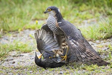 Eurasian Sparrowhawk (Accipiter nisus) sub-adult male hunting Common Starling (Sturnus vulgaris), Germany. Sequence 3 of 3