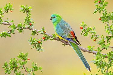 Red-rumped Parrot (Psephotus haematonotus) male, Victoria, Australia