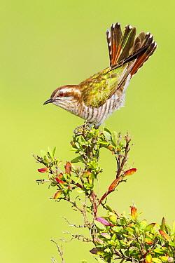 Horsfield's Bronze-Cuckoo (Chrysococcyx basalis) balancing, Victoria, Australia