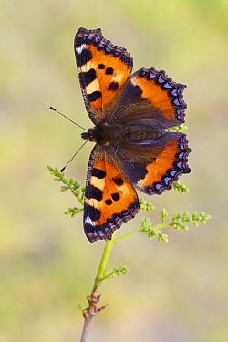 Small Tortoiseshell (Aglais urticae) butterfly, Hesse, Germany