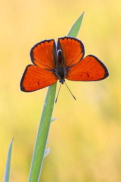 Large Copper (Lycaena dispar) butterfly, Overijssel, Netherlands