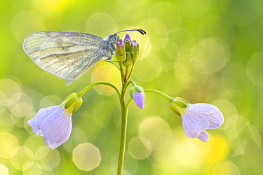 Wood White (Leptidea sinapis) butterfly on Cuckoo Flower (Cardamine pratensis), Hesse, Germany