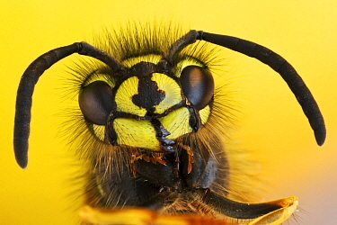 Common Wasp (Vespula vulgaris) head closeup, Hesse, Germany