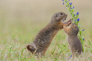 European Ground Squirrel (Spermophilus citellus) mother and young playing, Austria