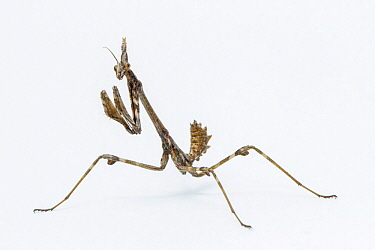 Praying Mantis (Empusa pennata) nymph, Galicia, Spain