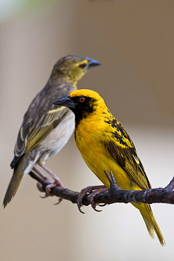 Village Weaver (Ploceus cucullatus) female and male, Mauritius