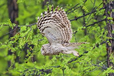 Ural Owl (Strix uralensis) flying, Lake Hovsgol, Mongolia